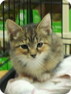 Calico Kitten for adoption in High View, West Virginia - Ellie