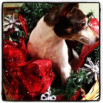 Fox Terrier (Smooth) Mix Dog for adoption in Yelm, Washington - Sadie