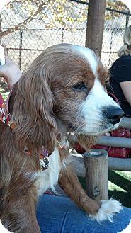 Cavalier King Charles Spaniel/Cocker Spaniel Mix Dog for adoption in Encinitas, California - Remy