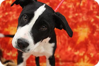 Border Collie/Labrador Retriever Mix Puppy for adoption in Broomfield, Colorado - Heavenly