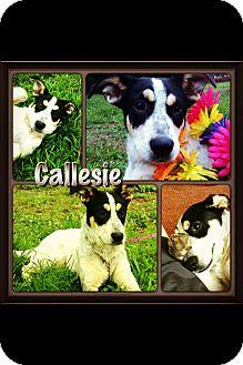 Blue Heeler/Bluetick Coonhound Mix Puppy for adoption in Apex, North Carolina - Callessie