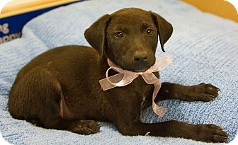 Labrador Retriever/Catahoula Leopard Dog Mix Puppy for adoption in Houston, Texas - Traci (Cutie!)
