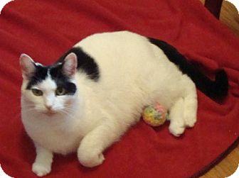 Domestic Shorthair Cat for adoption in Rochester, Minnesota - Pretty Girl