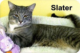 Domestic Shorthair Kitten for adoption in Medway, Massachusetts - Slater