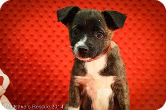 Chihuahua/Pug Mix Puppy for adoption in Broomfield, Colorado - Dahlin'