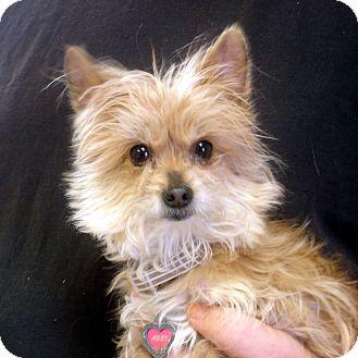Yorkie, Yorkshire Terrier Mix Dog for adoption in Manassas, Virginia - Abby