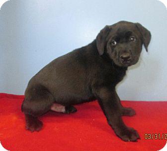 Labrador Retriever Mix Puppy for adoption in staten Island, New York - Mork