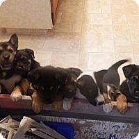 Adopt A Pet :: Puppies - BC Wide, BC