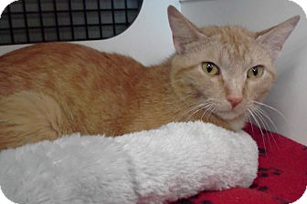 Domestic Shorthair Cat for adoption in McHenry, Illinois - Butterscotch