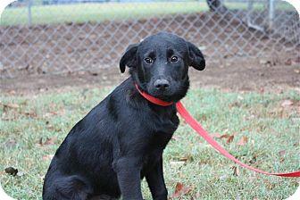 Labrador Retriever Mix Puppy for adoption in Conway, Arkansas - Tara