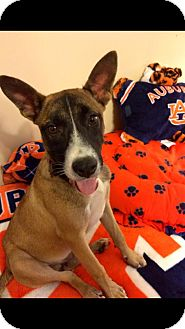 Basenji/Terrier (Unknown Type, Medium) Mix Dog for adoption in Goldens Bridge, New York - Gus *Good with kids,cats&dogs*