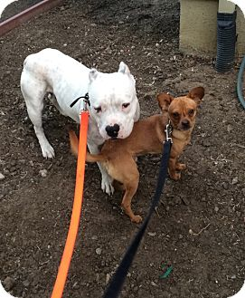 American Bulldog/Pit Bull Terrier Mix Dog for adoption in Tracy, California - Max and Red
