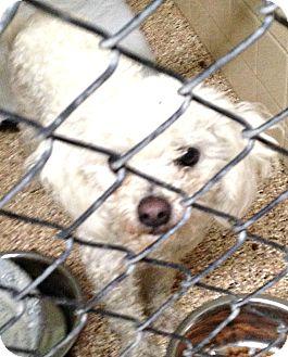 Poodle (Miniature) Dog for adoption in Boulder, Colorado - Dove