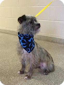 Shih Tzu Mix Dog for adoption in Troy, Ohio - Spike-ADOPTED