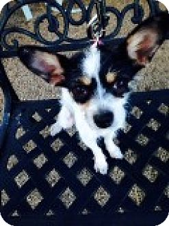Chihuahua/Jack Russell Terrier Mix Dog for adoption in Las Vegas, Nevada - Cora (formerly Riley)