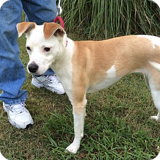 Whippet Mix Dog for adoption in McCormick, South Carolina - AA Lindy