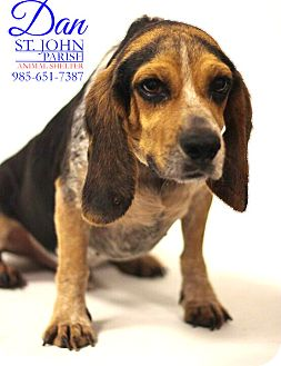 Beagle Dog for adoption in Laplace, Louisiana - Dan