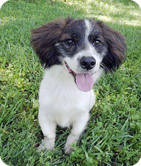 Spaniel (Unknown Type) Mix Puppy for adoption in LAFAYETTE, Louisiana - DANNY BOY