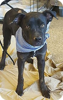 Boxer/Pit Bull Terrier Mix Puppy for adoption in Las Vegas, Nevada - Harley