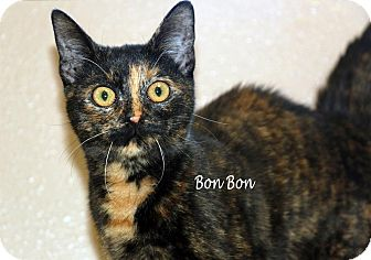 Domestic Shorthair Cat for adoption in Idaho Falls, Idaho - Bon Bon