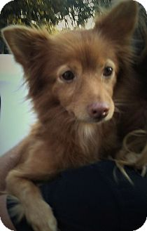 Pomeranian/Chihuahua Mix Dog for adoption in Lewisville, Texas - Pebbles