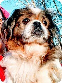 Shih Tzu Mix Dog for adoption in Lowell, Massachusetts - Eggy