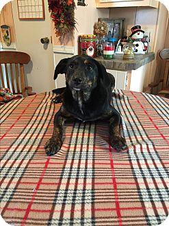 Labrador Retriever/Boxer Mix Puppy for adoption in Kittery, Maine - Livia