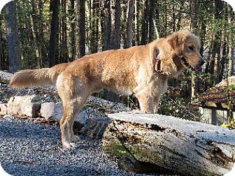 Golden Retriever Dog for adoption in Winfield, Pennsylvania - Kassanova