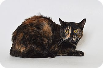 Domestic Shorthair Cat for adoption in Fruit Heights, Utah - Shadow