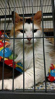Domestic Shorthair Cat for adoption in Saginaw, Michigan - Penny