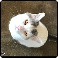 Domestic Shorthair Cat for adoption in Fallbrook, California - Henry