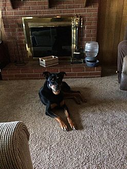 Rottweiler/Chow Chow Mix Dog for adoption in Woodbridge, Virginia - Solo