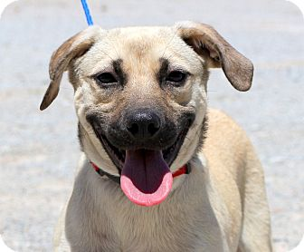 Shepherd (Unknown Type)/Beagle Mix Dog for adoption in Glastonbury, Connecticut - Nilla Wafer ~ meet me!