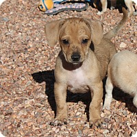 Adopt A Pet :: Puppies!!! - Henderson, NV