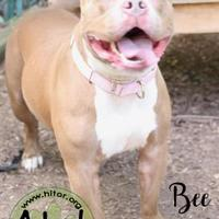 American Pit Bull Terrier Mix Dog for adoption in Pomona, New York - Bee