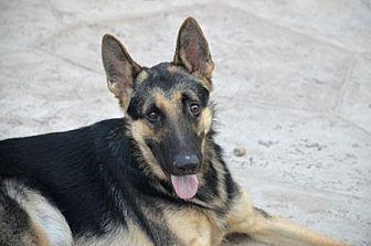 German Shepherd Dog Dog for adoption in San Diego, California - Otto