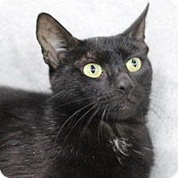 Domestic Shorthair Cat for adoption in Raleigh, North Carolina - Ayn K