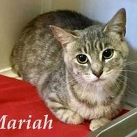 Domestic Shorthair/Domestic Shorthair Mix Cat for adoption in Port Hope, Ontario - Mariah