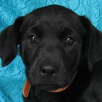 Adopt A Pet :: Sweet Tooth Brown - Cuba, NY
