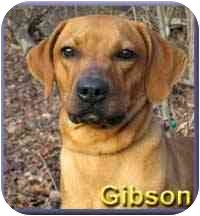 Vizsla/Rhodesian Ridgeback Mix Dog for adoption in Aldie, Virginia - Gibson