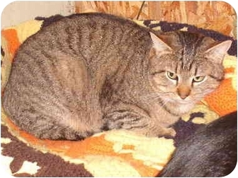 Domestic Shorthair Cat for adoption in Morris, Pennsylvania - Tuffy