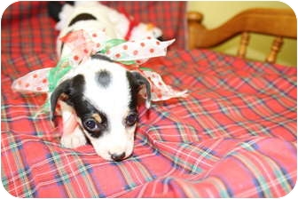Chihuahua Mix Puppy for adoption in Rockingham, North Carolina - Bridget