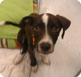 cadbury | Adopted Puppy | Phoenix, AZ | English Pointer ...