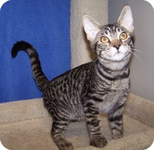 Domestic Shorthair Cat for adoption in Colorado Springs, Colorado - K-Hart5-Nelson