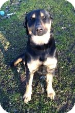 Rottweiler Mix Dog for adoption in Hollister, California - Bandit