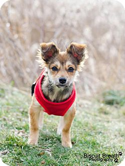 Chihuahua Mix Puppy for adoption in Howell, Michigan - Lola