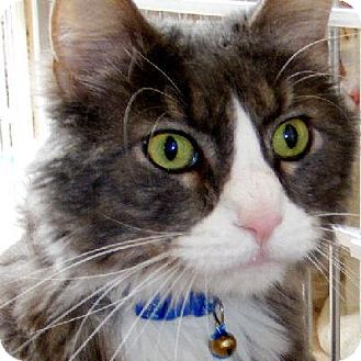 Domestic Longhair Cat for adoption in Denver, Colorado - ThundarCat