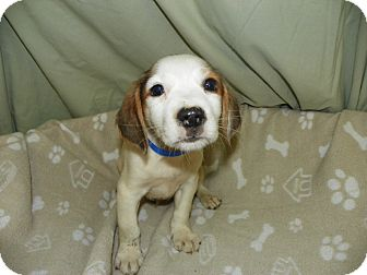 Retriever (Unknown Type)/Collie Mix Puppy for adoption in Waldorf, Maryland - Gene