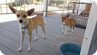 Chihuahua Mix Dog for adoption in Wickenburg, Arizona - Riku