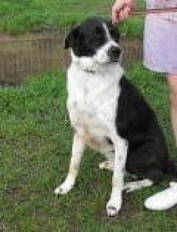 Bearded Collie/Labrador Retriever Mix Dog for adoption in Mount Pleasant, South Carolina - Brody